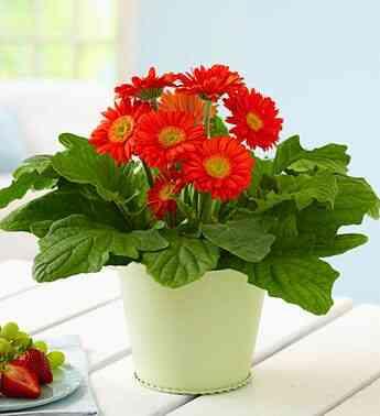 cây hoa đồng tiền, cúc đồng tiền hoa đỏ, đẹp